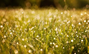 Fresh morning dew on spring grass, natural background - close up
